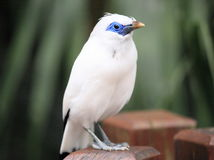 White bird with pretty blue face Royalty Free Stock Photography