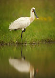 White bird, rare Eurasian Spoonbill standing on one leg. White bird, rare Eurasian Spoonbill, Platalea leucorodia standing on one leg in the shallow agoon. Calm royalty free stock images