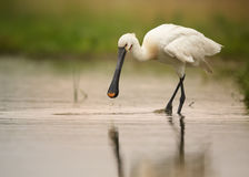 White bird, rare Eurasian Spoonbill walking in the shallow. White bird, rare Eurasian Spoonbill, Platalea leucorodia walking in the shallow agoon on  hunt. Calm Stock Photo