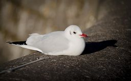 White Bird with a red beak and black tail sitting on a rock on a sunny day royalty free stock photography