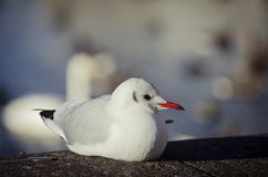 White Bird with a red beak and black tail sitting on a rock on a sunny day stock images