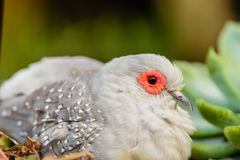White bird with a red border around the eyes and gray wings, clo. Se-up, green background blurred Stock Photography