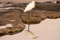 White Bird Reflection Stock Photo