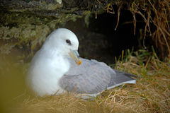 White Bird in the rock nest with grass. Northern Fulmar, Fulmarus glacialis, nesting on the dark cliff. Two white sea birds in the Stock Photo