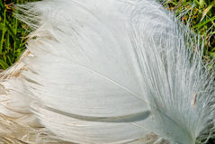 White Bird's Feather Stock Images