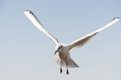White bird seagull Stock Photo