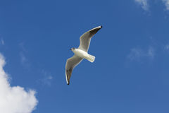 The white bird seagull flies over the sea. Stock Photography