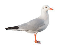 White bird seagull isolated Stock Images