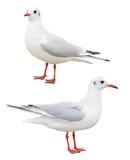 White bird seagull isolated Stock Photos