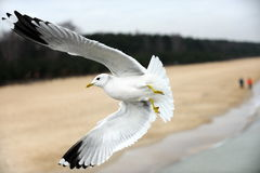 White bird seagull isolated on white Stock Photography