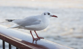 White bird seagull royalty free stock photos