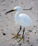 White bird standing on sand with shells. White bird standing on the beach, covered with sea shells - Siesta Key Royalty Free Stock Photography