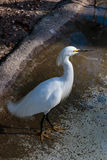 White Bird Standing in the Water Royalty Free Stock Photo