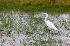 White bird is standing in the water, on safari. In Kenya Stock Photos