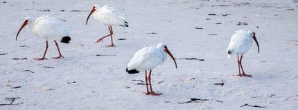 White bird walking on the beach. White birds walking on Crescent beach - vacation on Siesta Key Royalty Free Stock Photos