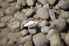 A White bird is walking on rocks having lichen. Looking for some food on the shore at Southern of Thailand Stock Photo