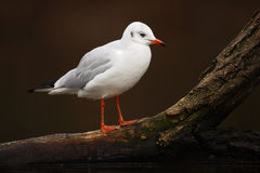 White bird in the white river habitat. Gull sitting on the branch. Black-headed Gull, Chroicocephalus ridibundus, in dark water, F Royalty Free Stock Images