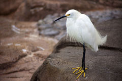 White Bird with Yellow Feet on Rock Stock Image