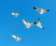 White birds. Sseagulls in the sky Stock Photo