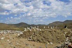 White birds congregate in a landfill Stock Photography
