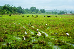 White birds and cows. This image was taken in Sri Lanka Stock Images