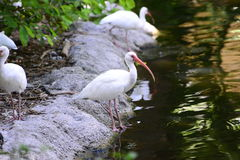 White birds eating along the shore Stock Image