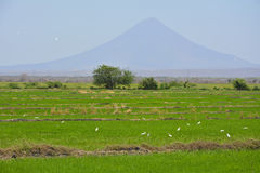 White Birds en campo verde del arroz Foto de archivo