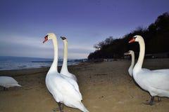 White birds on evening beach Royalty Free Stock Image