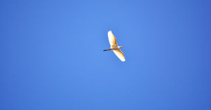 White birds flying Royalty Free Stock Image
