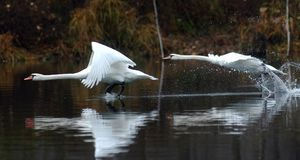 White birds flying over water Royalty Free Stock Image
