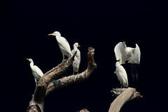 White birds. A group of white birds on a tree Stock Photography