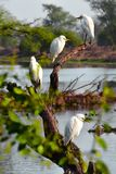 White birds on limb royalty free stock photo