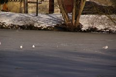 White birds - Pond of the Mute in the city of Elancourt in France. White birds which swim in a lake frozen with an icy frosty water. It is in the day and in Royalty Free Stock Photo