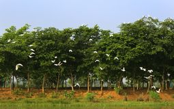 White birds with tree row  in the bird Sanctuary. Flying birds with tree row in the vaduvoor Bird Sanctuary landscape-tamilnadu,india Stock Images