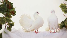 White Birds. Two white doves sitting on a swing stock footage