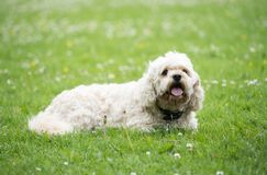White bishon laying on grass in a park in sunny day looking at camera stock photo