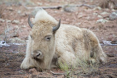White Bison. American White Bison Sleeping In The Early Morning Stock Photography