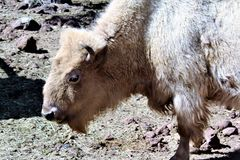 White Bison Royalty Free Stock Photo