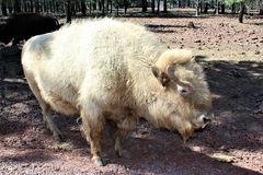 White Bison Royalty Free Stock Photography