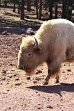 White Bison Stock Photos