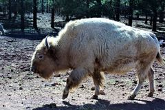 White Bison Royalty Free Stock Image