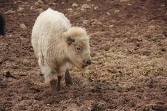 White bison standing with eyes closed. White bison standing in the dirt with eyes closed stock images