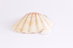 White bivalve with pink stripes. On a white background Royalty Free Stock Photos
