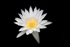 White On Black. White Water Lilly On Black Background stock photos