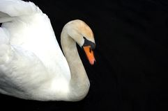 White And Black. Swan Royalty Free Stock Photography
