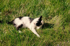 White and black adult domestic cat lying in grass and grooming itself Stock Photos