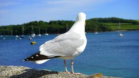 White and Black Albatross Royalty Free Stock Image