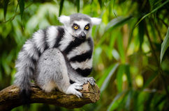 White and Black Animal Sitting on a Branch Royalty Free Stock Photo