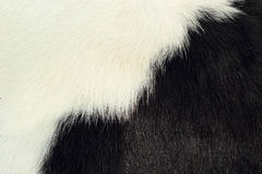 White and black background cow fur. Stock Image