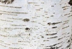 White with black background texture bark tree birch royalty free stock photos